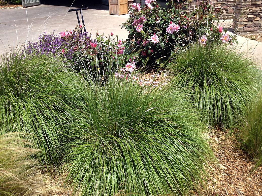 Slender Veldt Grass or Rye Puffs - Green Meadow Growers