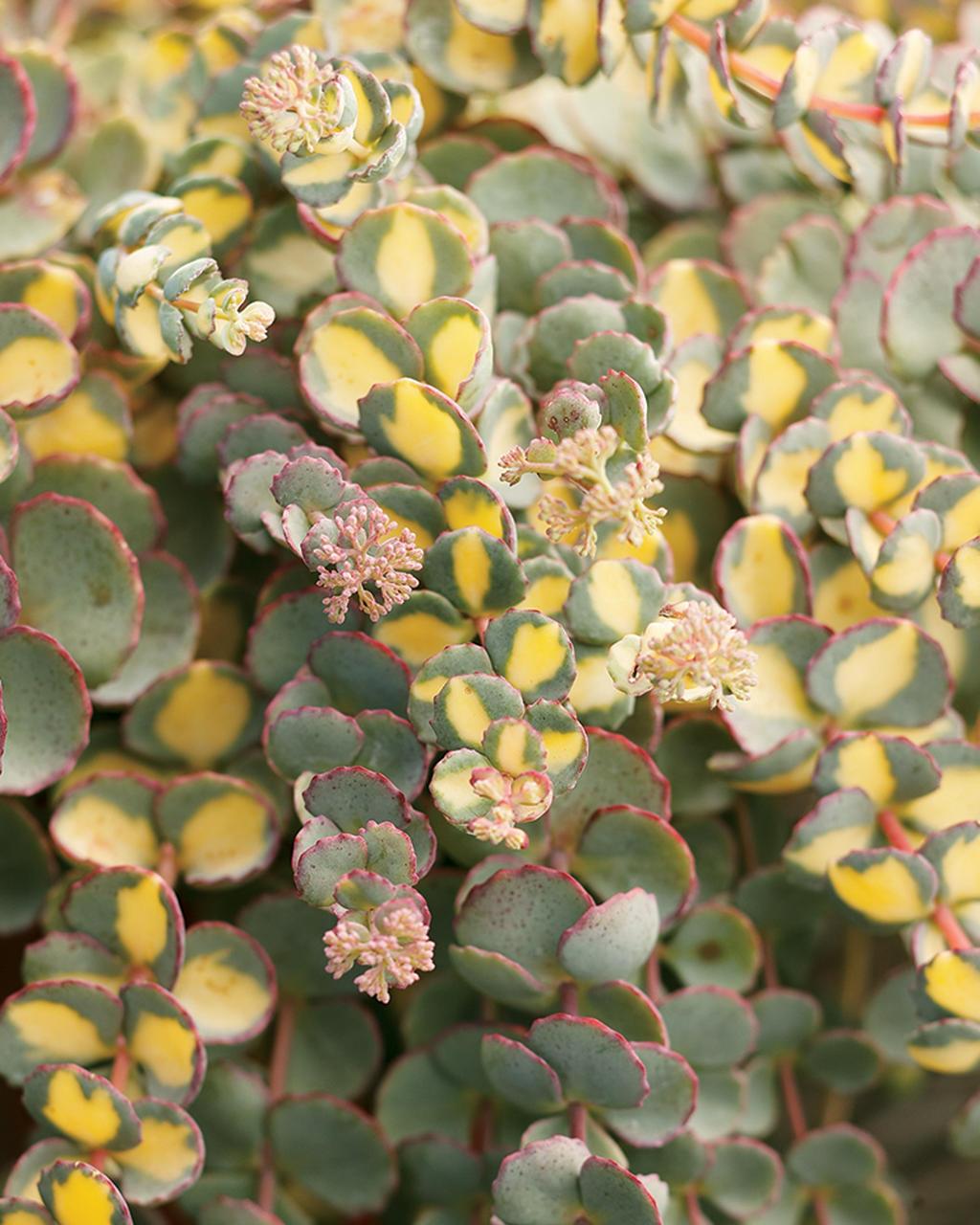 Sedum sieboldii variegatum
