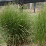 Spartina bakeri San Cord Grass