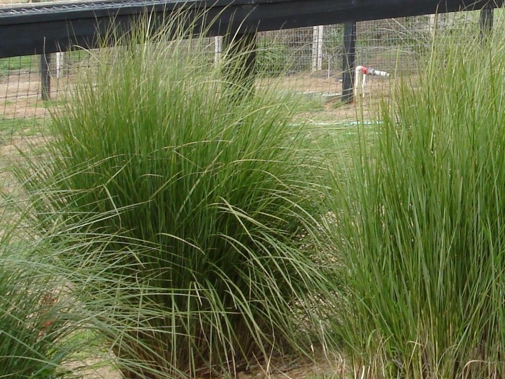 Sand Cord Grass Green Meadow Growers