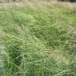 1g Sporobulus wrightii 'Sacatoon Bunch Grass'