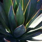 agave-blueglow