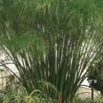 cyperus papyrus Egyptian
