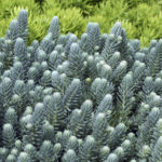 sedum rupestre-blue-spruce